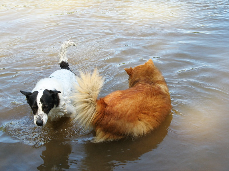 Lucky and Ginger swimming