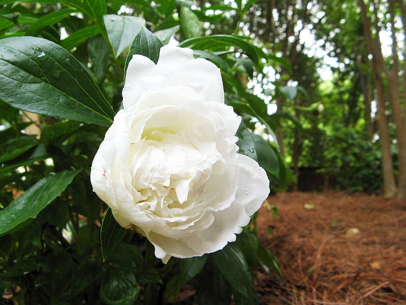 Beautiful white fluffy flower