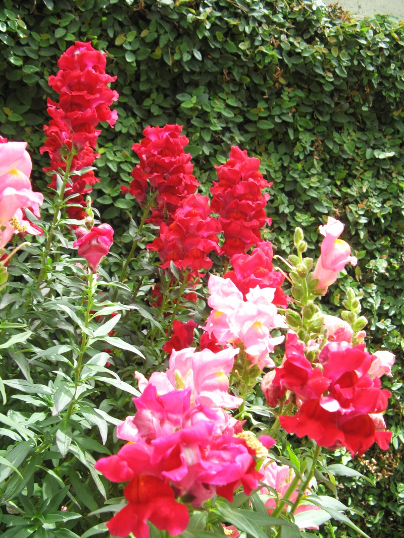 Red and pink snap dragons