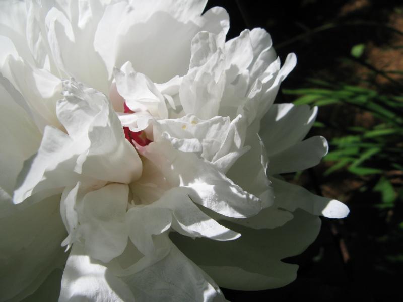 Fluffy flowers gardening big white fluffy flower mightylinksfo