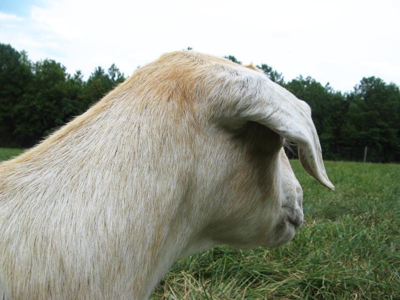 Goats eye view