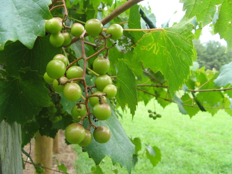 Muscadine grapes