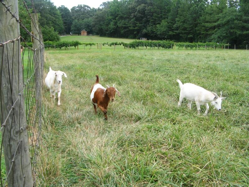 Romping goats
