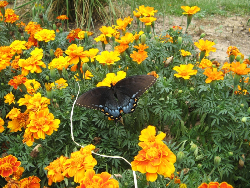 Marigolds and butterfly
