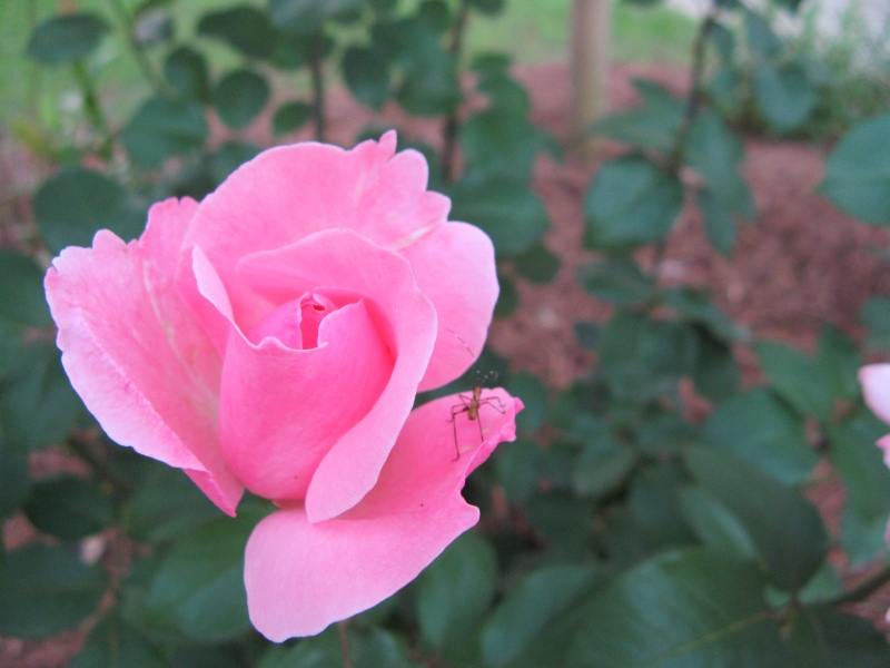 Pink rose in front yard