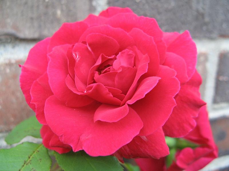 Huge red rose