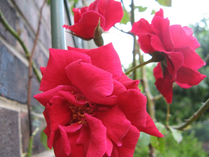 Red rose blooms on the trellis