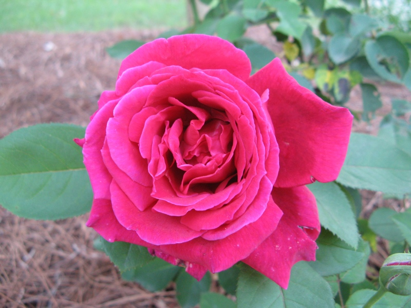 Gorgeous red rose bloom