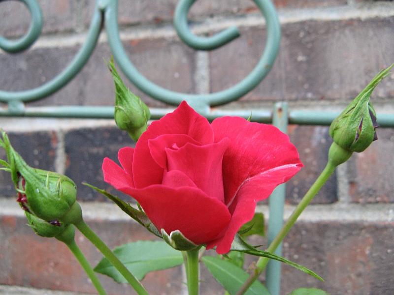 Red rose buds