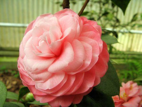 Massee Lane Camellia Gardens Vashti