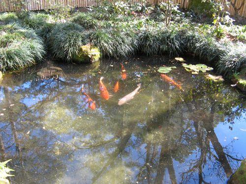 Massee Lane Camellia Gardens Japanese Garden huge koi