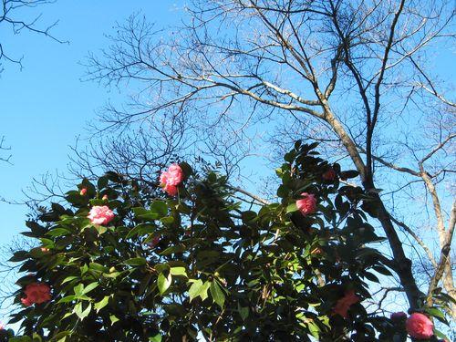 Massee Lane Camellia Gardens Formal Garden shrub