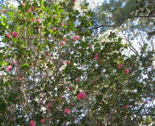 Massee Lane Camellia Gardens Fragrant Pink Camellia hybrid