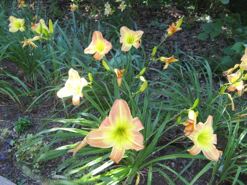 Dow Lake Henry County Georgia Garden Tour 2012 pastel daylilies