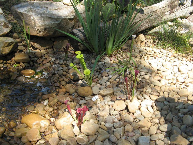 Garden Tour Henry County Georgia 2012 pitcher plants
