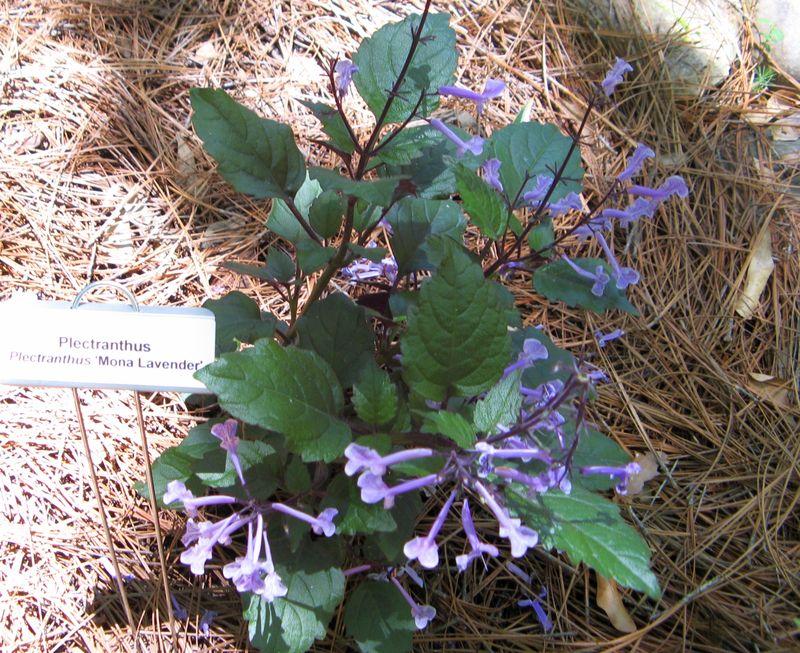 A Henry County Georgia Garden Tour 2012 Plectranthus Mona Lavender closeup