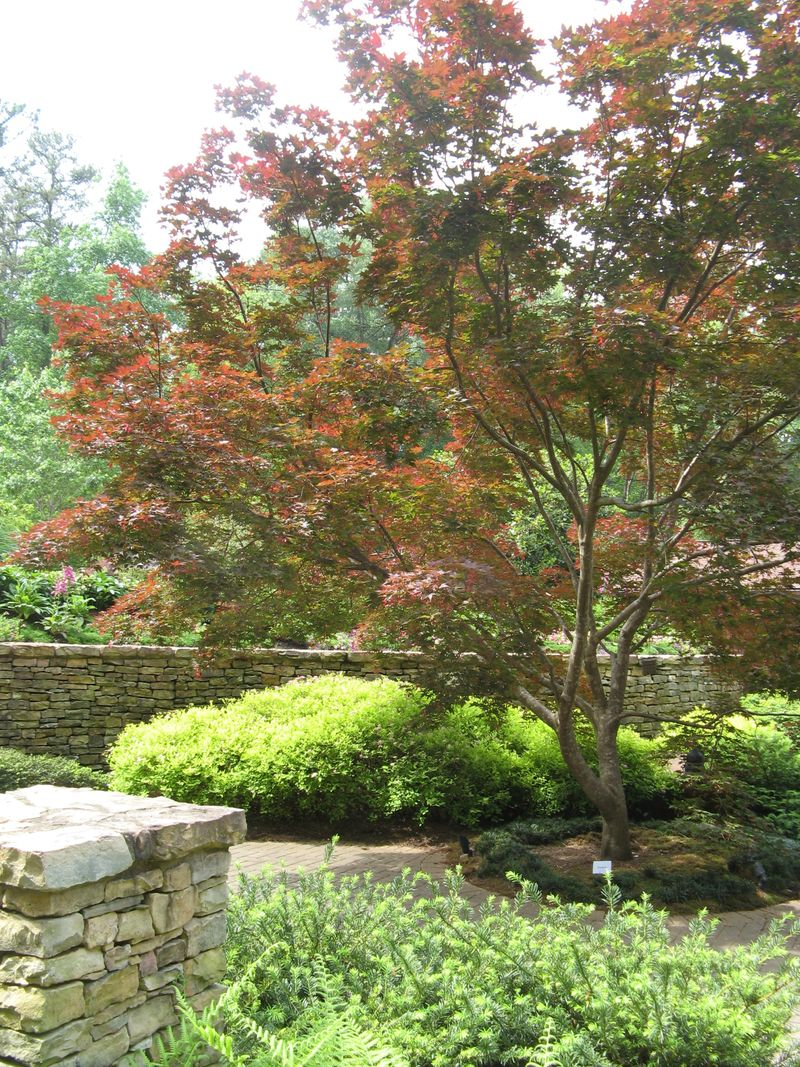 Athens Garden Tour 2012 bloodgood Japanese Maple