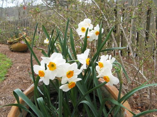 Indian Springs Georgia Whimsical Garden daffodils