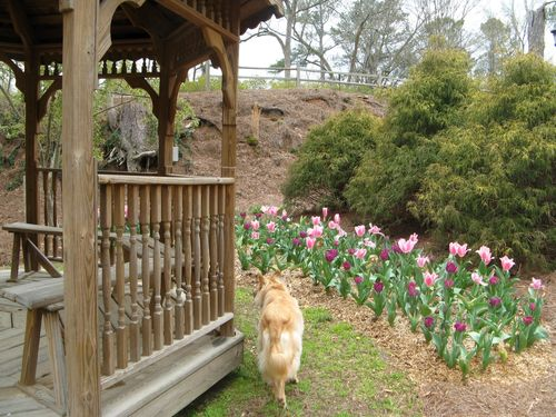 Indian Springs Georgia Whimsical Garden Scamper and pink tulips