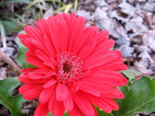 Gerbera daisy Macon Georgia