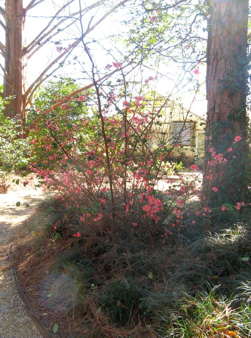 Massee Lane Camellia Gardens pink quince shrub