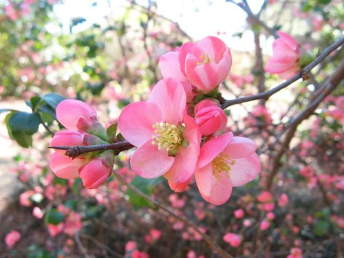 Massee Lane Camellia Gardens pink quince blossom