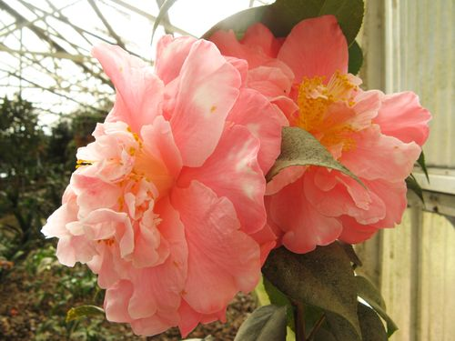 Massee Lane Camellia Gardens Lady Eva japonica blossom