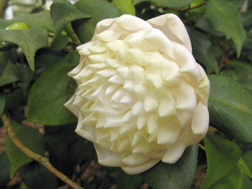 Massee Lane Camellia Gardens Lois Coker blossom
