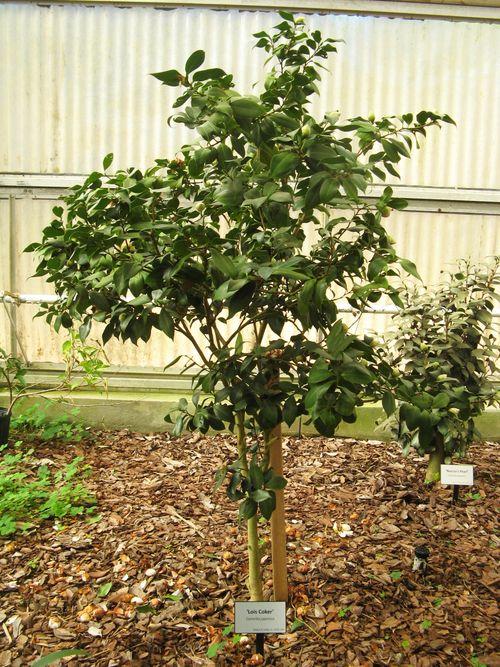 Massee Lane Camellia Gardens Lois Coker shrub