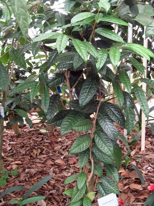 Massee Lane Camellia Gardens Camellia nitidissima shrub