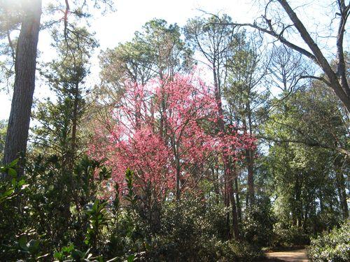 Massee Lane Camellia Gardens trees
