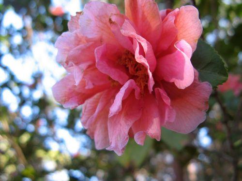 Massee Lane Camellia Gardens Fragrant Pink