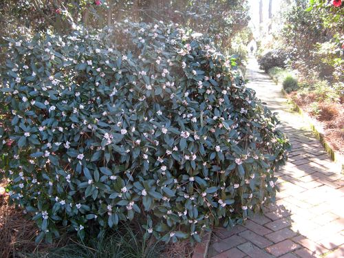Massee Lane Camellia Gardens daphne shrub