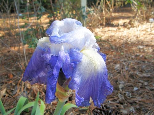 Clarence Remontant Bearded Iris