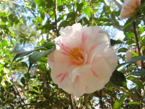 Massee Lane Camellia Gardens Lady Vansittart