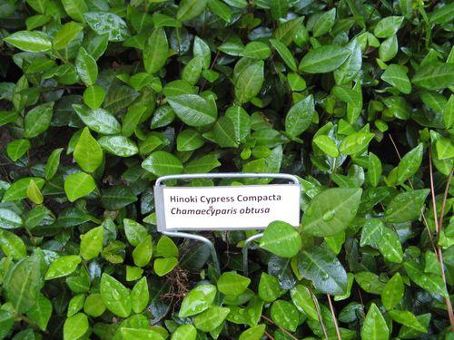 Henry County Georgia Garden Tour 2012 Hinoki Cypress Compacta