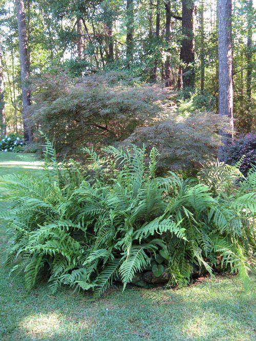 Henry County Georgia Garden Tour 2012 fern japanese maple