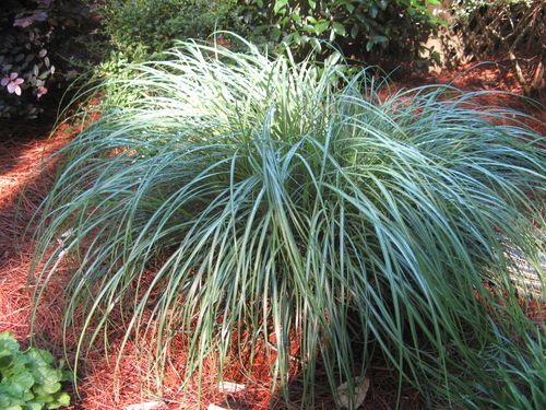Henry County Georgia Garden Tour 2012 Dwarf Maiden Grass Adagio