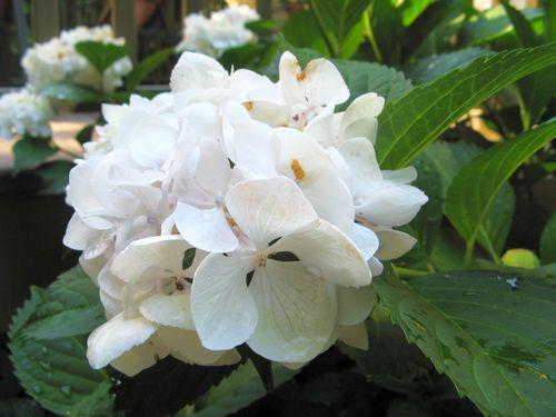 Henry County Georgia Garden Tour 2012 white hydrangea flower