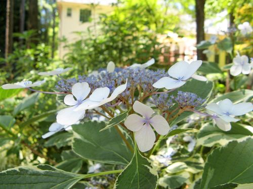 A Henry County Georgia Garden Tour 2012 varigated lacecap hydrangea