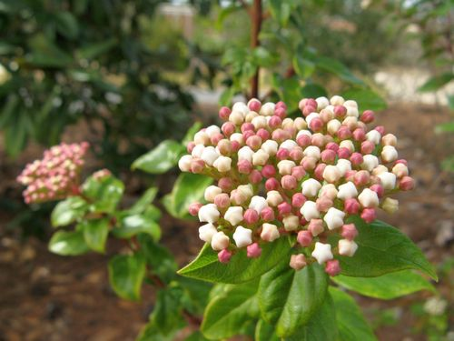Bud cluster