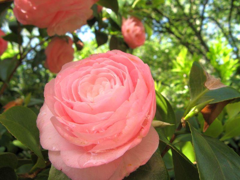 Athens Georgia Garden Tour 2013 pink camellia closeup 3