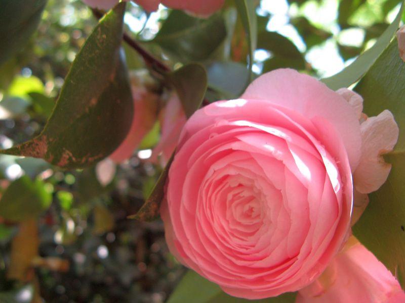 Athens Georgia Garden Tour 2013 pink camellia closeup 2