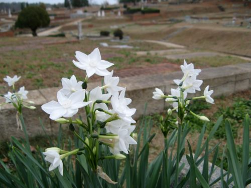 Paperwhites closeup Rose Hill Cemetery Macon Georgia