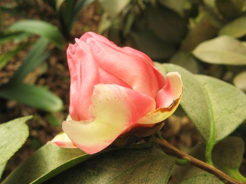 Massee Lane Camellia Gardens Lady Eva japonica bud