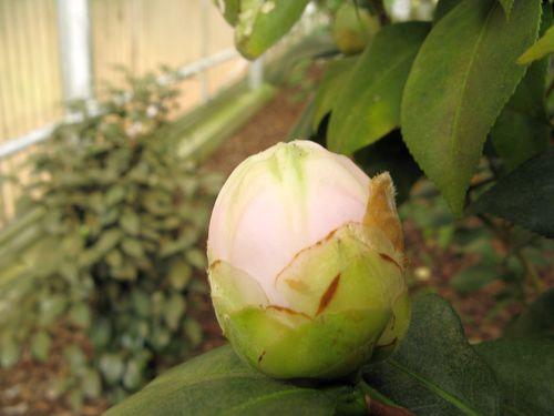 Massee Lane Camellia Gardens Lois Coker bud