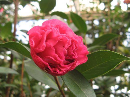 Massee Lane Camellia Gardens Zaomudan Camellia reticulata Early Peony