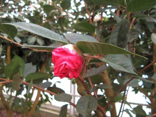 Massee Lane Camellia Gardens Arcadia bud