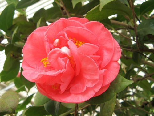 Massee Lane Camellia Gardens Hulyn Smith