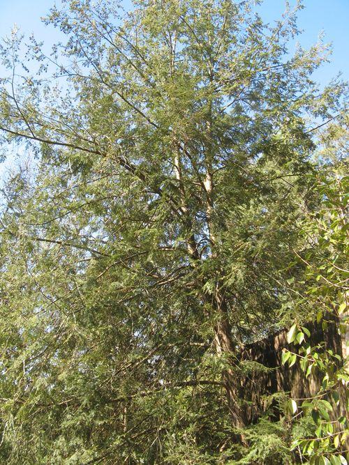 Massee Lane Camellia Gardens Japanese Garden short needle pine tree